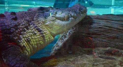 SEA LIFE~メルボルン水族館でシャークダイブ!?クロコダイルもデカすぎで見どころ満載!